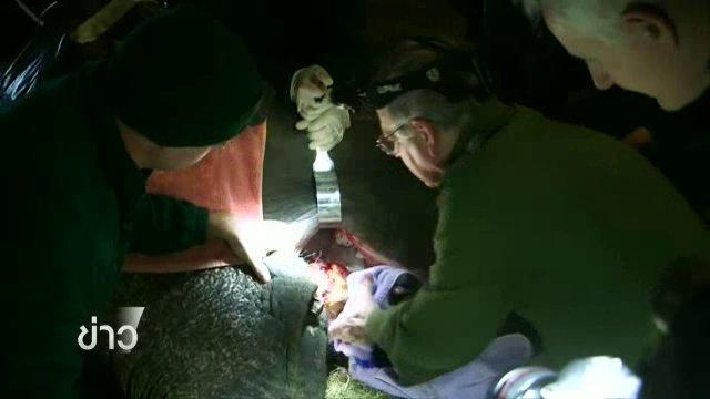 สวนสัตว์อังกฤษถอนฟันให้ช้าง หลังติดเชื้อจนเบื่ออาหาร