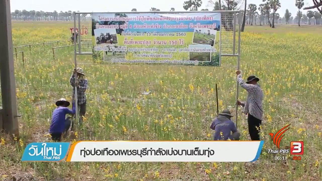 วันใหม่  ไทยพีบีเอส - ทุ่งปอเทืองเพชรบุรีกำลังเบ่งบานเต็มทุ่ง