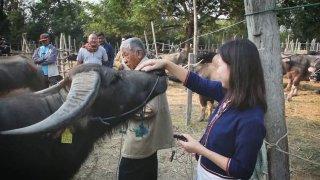 ที่นี่ Thai PBS นักข่าวพลเมือง : มนต์เสน่ห์ตลาดนัดขายวัวขายควาย จ.เชียงใหม่