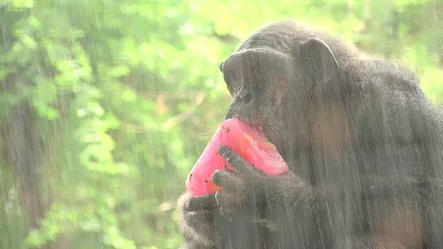 """สวนสัตว์ดุสิต จัด """"ผลไม้แช่แข็ง-น้ำหวาน"""" ให้สัตว์คลายร้อน"""
