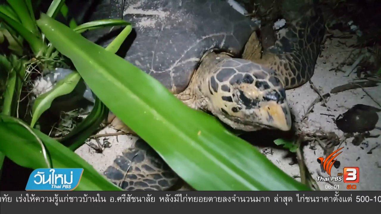 """วันใหม่  ไทยพีบีเอส - """"เต่ากระ"""" สัตว์ทะเลหายาก วางไข่เกาะทะลุ"""